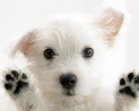Cute White Puppy Looking At You