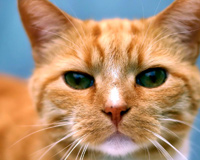 Ginger Cat With Green Eyes